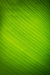 Banana leave texture background