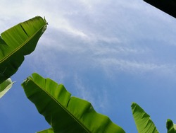 Banana leaves against bright blue sky background, outdoor garden, agriculture field.  Clear banana leaf.
