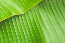 Banana leaves background and wallpaper for design, Green banana leaf background abstract