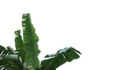 Banana leaves tearing by strong wind on white isolated background for green foliage pattern