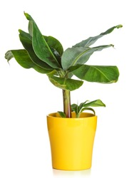 Banana plant in yellow flower pot isolated on white background