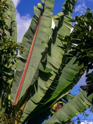 Banana plant leaves captured at sunset in the central Andean mountains of Colombia, near the town of Arcabuco in the department of Boyaca..