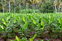 Banana plantation. Banana Farm. Young banana plants in rural farm in Trivandrum, Kerala.