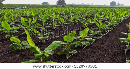 Banana plantation. Growing Banana (musa) crop with dew drops on leaves. Beautiful agricultural background. Planting at field of India. Use of drip irrigation system in agriculture. Foto stock ©
