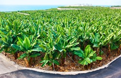 Banana plantation in Tenerife island, The Canaries