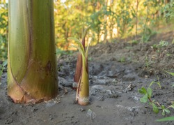 Banana suckers near the pseudostem of the mother plant