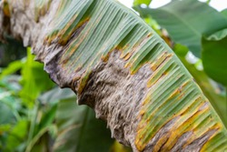 Banana tree disease, Symptoms of black sigatoka on banana foliage, Black sigatoka infected plant, Dry banana leaf surface.