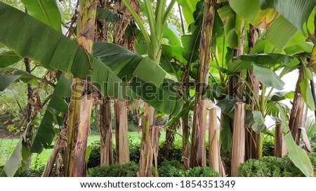 Banana tree leaves in autumn Stok fotoğraf ©