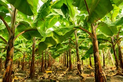 Banana tree plantation in nature with daylight, row of align Banana tree.