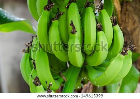 Banana tree with a bunch bananas green bananas aren\'t ripe