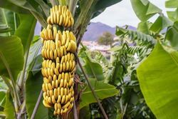 Banana tree with bunch of growing ripe yellow bananas, plantation rain-forest background