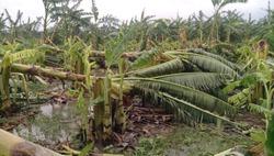 Banana trees broken-down at Amphan Cyclone