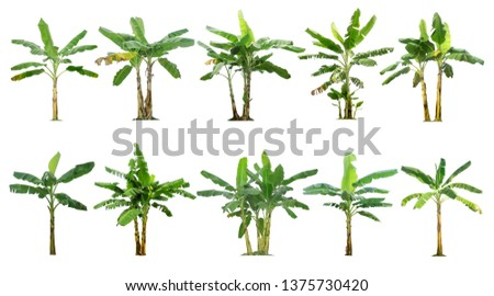 Banana trees collection.Tree isolated on a white background for garden design. Interesting plants of tropical countries. #1375730420