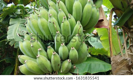 Banana trees that are still fruiting and still raw.