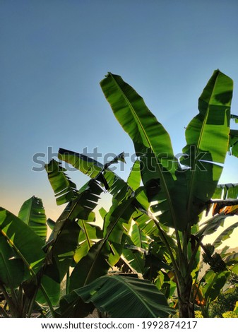 Banana trees thrive in the sun
