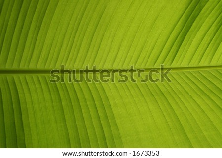 bananna leaf (backlit fresh green palm leaf with small water drops on it)