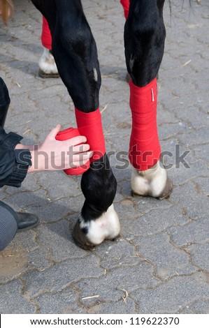 Bandaging horses'  legs  with a red bandage. - stock photo