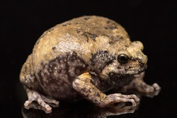 Banded bullfrog or Asian narrowmouth toads It also know chubby or bubble frog This frog is native to Southeast Asia isolated on black background