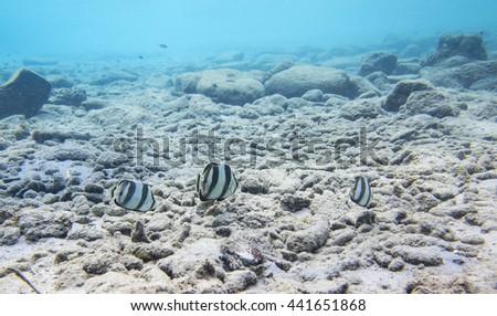 Banded butterflyfish (Chaetodon striatus) #441651868