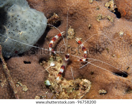 Banded coral shrimp or banded cleaner shrimp (Stenopus hispidus) on the coral reef. Indo-pacific ocean, Indonesia.