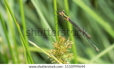 Banded demoiselle damselfly female on a grass stalk. Calopteryx splendens. Close-up of the glossy green dragonfly. Insect with a long abdomen. Water predator on a blurry natural background. #1110999644