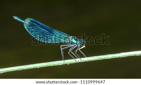 Banded demoiselle damselfly male on plant stick. Calopteryx splendens. Beautiful detail of the blue dragonfly with shiny decorative wings when eating a insect prey. Blurred water background. #1110999647