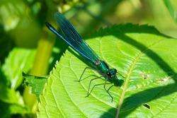 Banded Demoiselle Male, Metallic Blue Damselfly, on a River Bank