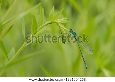 Banded demoiselle sits on branch in the natural environment, Calopteryx splendens, dragonfly, Czech Republic