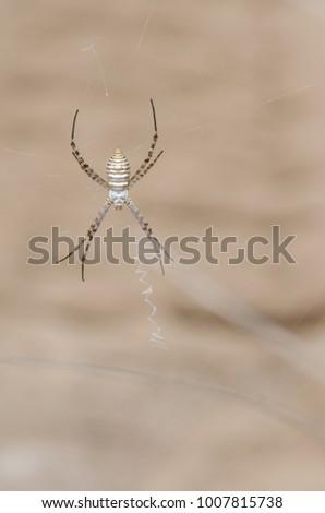 banded garden spider  argiope...