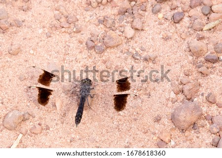 Banded Groundling (Brachythemis impartita), male on the ground, Gambia. Imagine de stoc ©