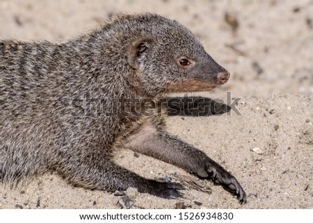 Banded Mongoose (Mungos mungo) in zoo