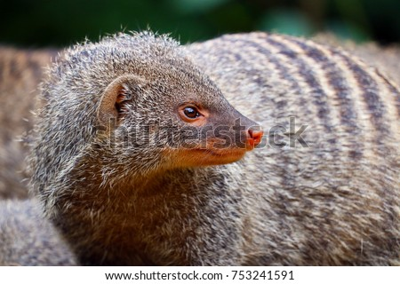 Banded mongoose (mungos mungo) turning its head and looking backwards