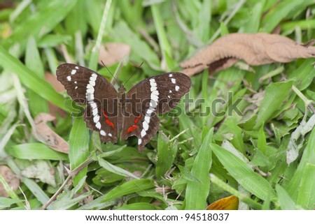 Banded Peacock Butterfly on grass - Anartia fatima in Costa Rica