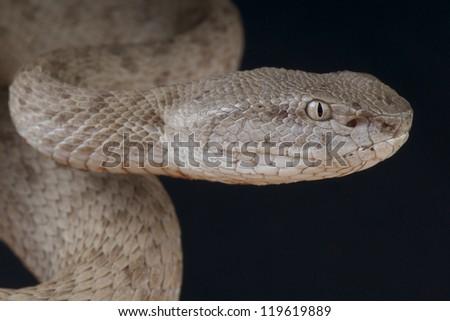 Banded pitviper / Trimeresurus fasciatus