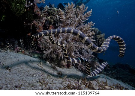 banded sea snake #115139764