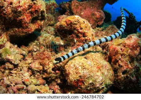 Banded Sea Snake #246784702