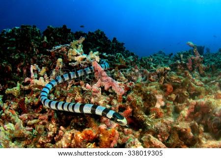 Banded Sea Snake #338019305