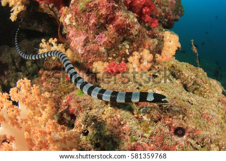 Banded Sea Snake #581359768