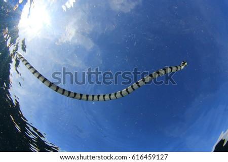 Banded Sea Snake (Krate) #616459127