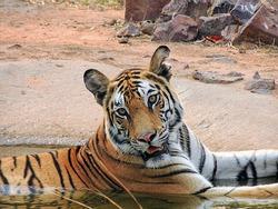 Bandhavgarh kankati tigress wildlife bigcat