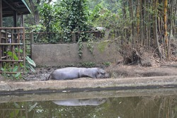 BANDUNG, INDONESIA - JUL 12, 2017 One afternoon the atmosphere of the hippos stable at the Bandung zoo, the hippos appear very comfortable and relaxing in a small pool of water bordered by an iron fen