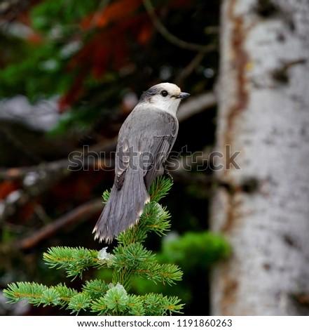 Banff Grey Jay bird #1191860263