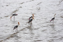 Bang Pu: 5/7/2020: Picture of group of Painted Storks(Mycteria leucocephala) finding fish in mangrove forest area :Bang Pu Recreation Center, Samut Prakan Province, Thailand.