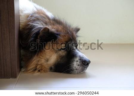 Bangkaew, Thai dog sleeps behind table leg