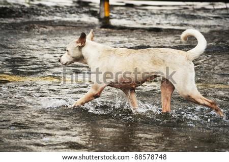 BANGKOK, THAILAND - NOVEMBER 10 : the dog run away from flood on the kanjanpisak road November 10, 2011 in Bangkok, Thailand.