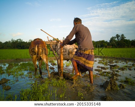 Bangladeshi Poor Farmer Working On Others Muddy Water Land With Two Cows And His Working Materials.The Work Locally Known As 'HAL DEOA OR HAL CASH' And Their Is A Blue Sky Background.  Stok fotoğraf ©