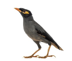 Bank Myna, Acridotheres Ginginianus, looking up and isolated on white
