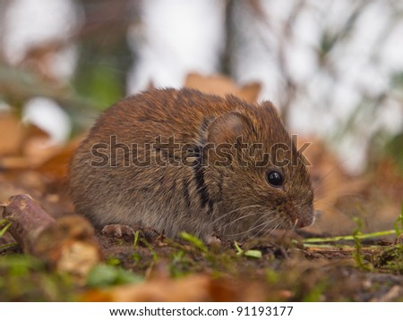 Bank vole (Clethrionomys glareolus) seen from the side