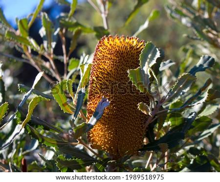 Banksia littoralis, swamp banksia, swamp oak, river, seaside or western swamp banksia yellow , species proteacea genus growing in Big Swamp parkland, Bunbury, Western Australia.