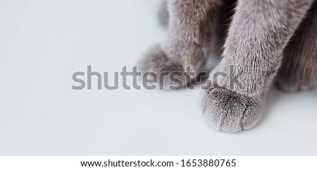 Banner about Pets, white background gray paws of a cat. Paws of a British cat with short hair close-up.